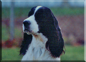 English Springer Spaniel - Brenna