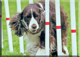 English Springer Spaniel - Brianne and weave poles