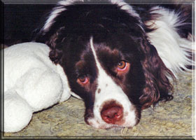 English Springer Spaniel - Brianne and her lamb