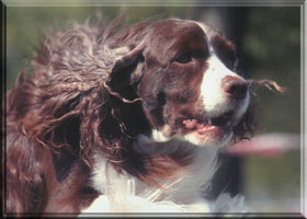 English Springer Spaniel - Brianne