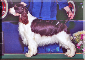 English Springer Spaniel - Hannah at show