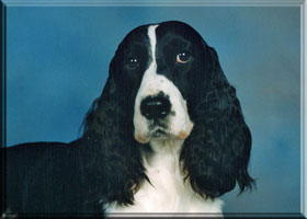 English Springer Spaniel - Kaitlin