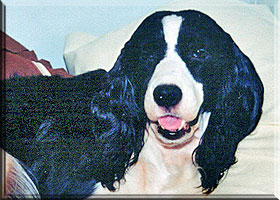 English Springer Spaniel - Katy
