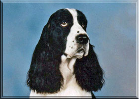 English Springer Spaniel - Teddy